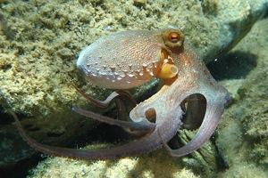 800px Octopus vulgaris2